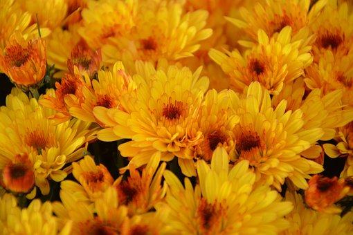 Flowers, Mums, Color Orange, Toussaint, Parterre