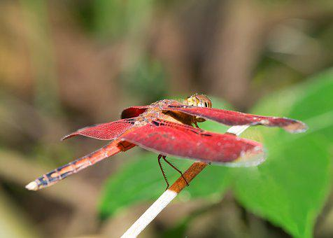 Dragonfly, Red, Wings, Wildlife, Macro, Outdoor, Nature