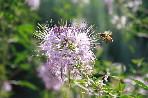 Bee, Insect, Entomology, Fly, Garden, Flower, Purple