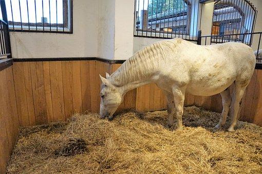 Horse, Lipizzaner, Stud, Homestead, Reiterhof