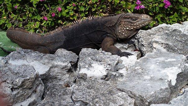 Iguana, Reptile, Cuba