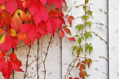 Ivy, Autumn, Wall, White, Leaves, Autumn Colours