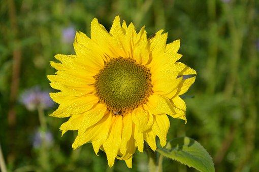 Flower, Flower Sunflower, The Colour Yellow, Nature
