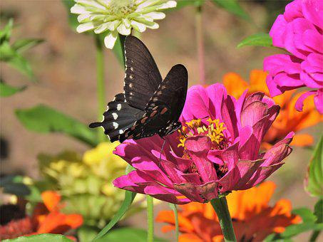 Butterfly, Black And White, Pink Flower, Garden