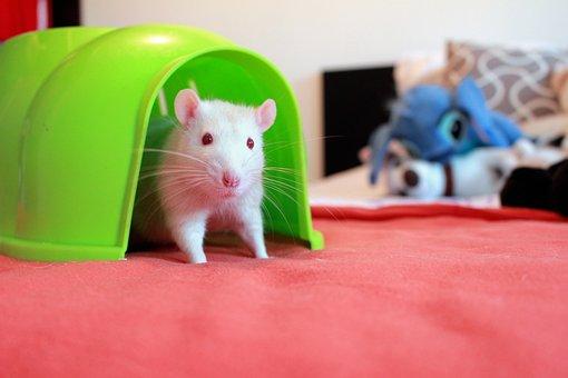 Rat Home, Albino Rats, Rat House, The White Rat
