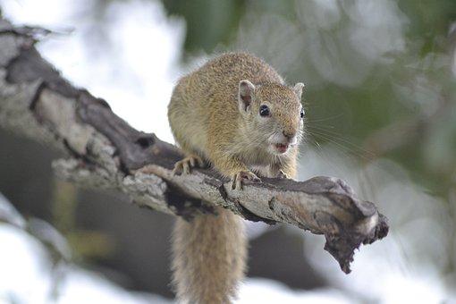 Wildlife, Tree Squirrel, Botswana