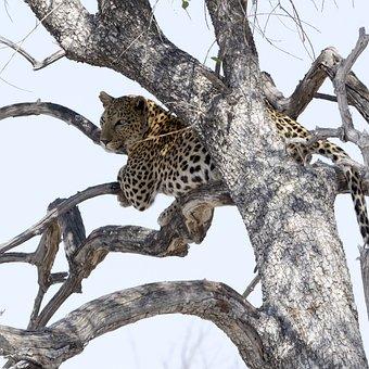 Leopard, National Park, Africa, Safari, Wildcat, Nature