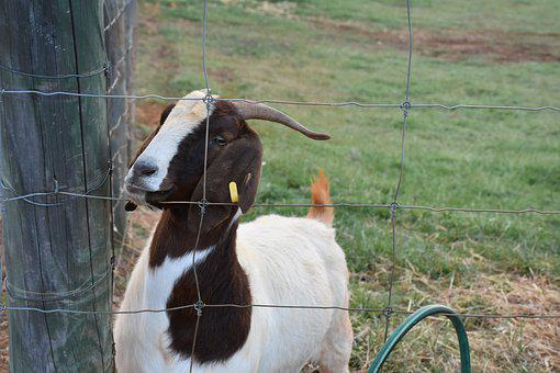 Goat, Animal, Farm, Western Australia