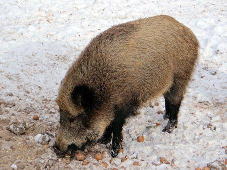 Wild Boar, Pig, Wild, Mammal, Forest, Animal, Nature