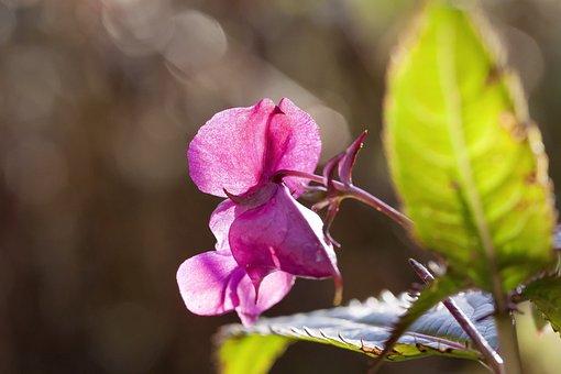 Balsam, Japanese, Blossom, Bloom, Plant, Flora, Autumn