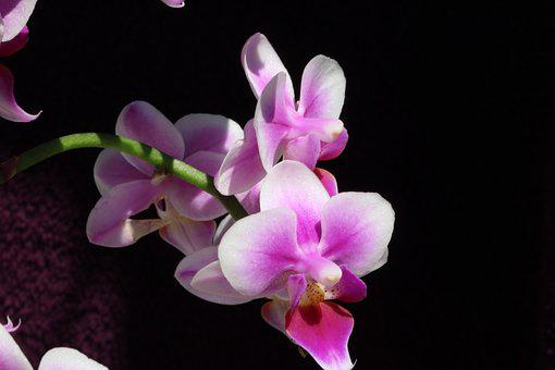 Orchid, Flower, Blossom, Bloom