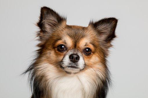 Chihuahua, Dog, Cute, Pets, Small, Chiwawa, Small Dog