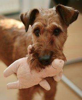 Dog, Irish Terrier, Hundeportrait, Pet, Animal Portrait