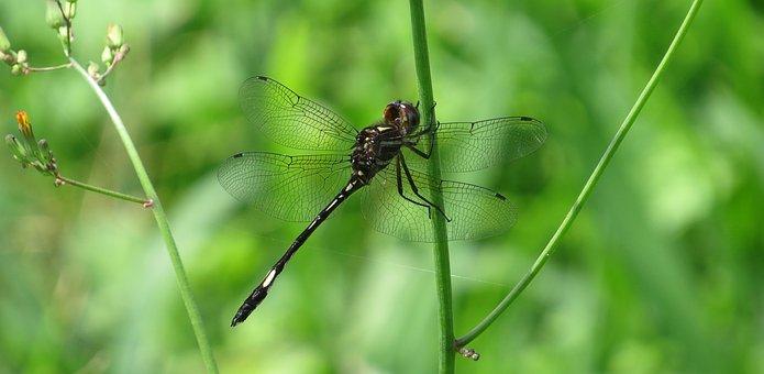 Dragonfly, Red, Dragonfly Macro, Nature, Armenia