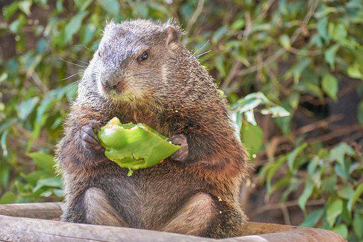 Beaver, Eat, Water, Food, Healthy, Cute, Nutrition