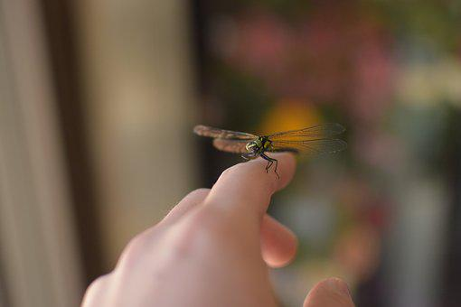 Dragonfly, Foppery, Bug