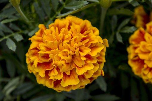 Harpsichord, Stud Yellow, Flower, Nature, Green, Garden