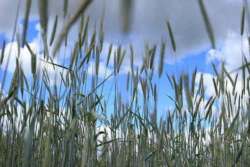 Corn, Wheat, The Cultivation Of, Harvest, Grains
