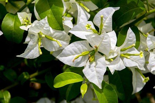 Spring White, Flower, Nature, Green, Garden, Plant