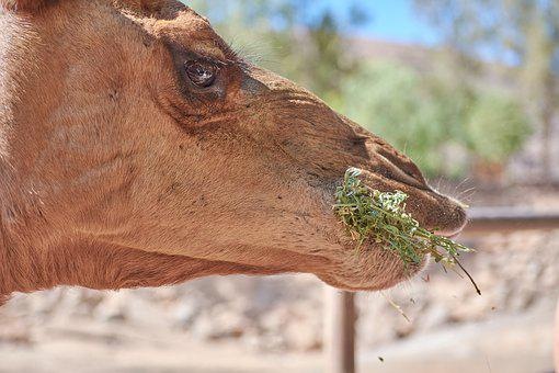 Camel, Eat, Straw, Feed, Steal, Mammal, Hump