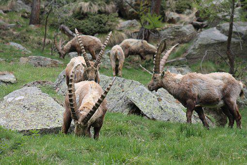Ibex, Animals, Wild