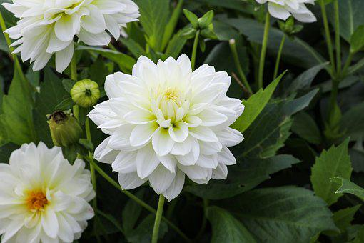 Dahlia, Plant, White, Late Summer, Autumn Flower
