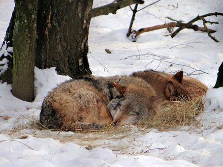 Wolf, Dream, Mammal, Forest, Wild Animals, Nature