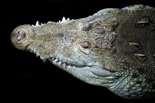 Crocodile, Head, Animal, Tooth, Reptile, Portrait