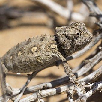 Chameleon, Desert, Reptile, Sand, Namib Desert, Close