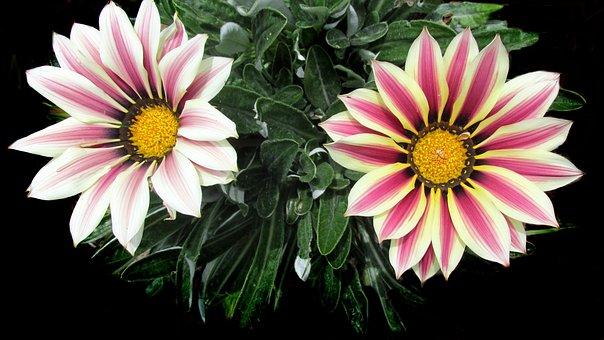 Sun Daisy, Striped, Summer, Garden