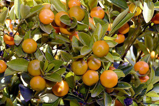Tangerines, Tree, Eat, Citrus Fruits, Fruit