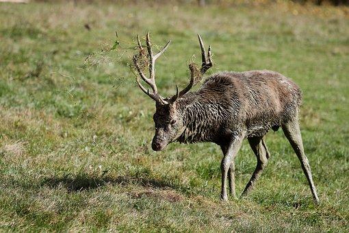 Hirsch, Antler, Forest, Wild, Nature, Mammal, Red Deer