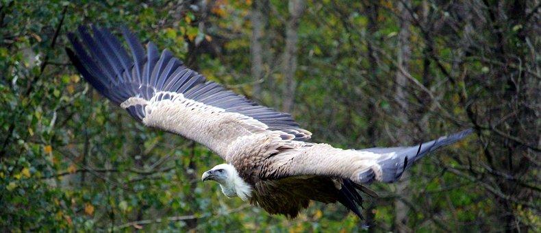 Vulture, Flight, Animal World, Bird, Bird Flight, Fly