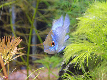 Apistogramma Of Ramirezi Electric Blue, Small Fish