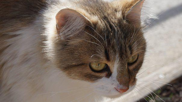 Cat, Animal Portrait, Close, Watch, Attention