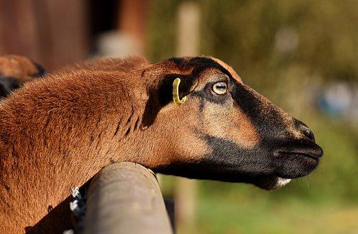 Sheep, Animal, Nature, Wildlife Photography