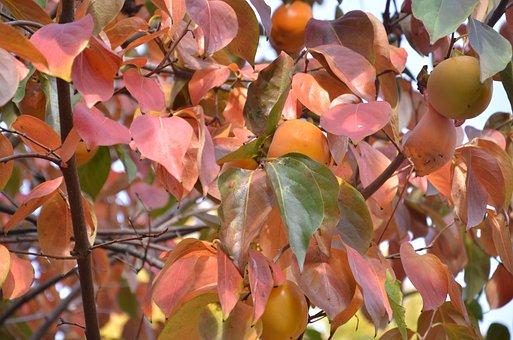 Fruit, In The Autumn, Khaki, Acerbi
