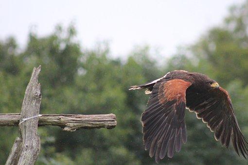 Bird, Flight, Fly, Wildlife, Wings, Hawk, Flying, Avian