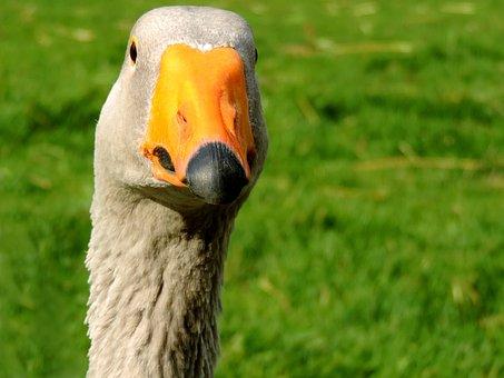 Goose, Duck Bird, Head, Neck, Plumage, Animal, Poultry