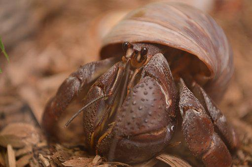 Hermit Crab, Crab, Pet, Hermit, Shell, Small, Nature