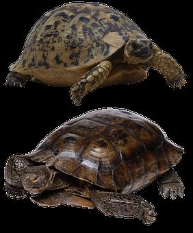 Turtle, Isolated, Tortoise, Panzer, Tortoise Shell