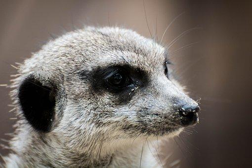 Erdmann, Meerkat, Animal Portrait, Nature, Furry