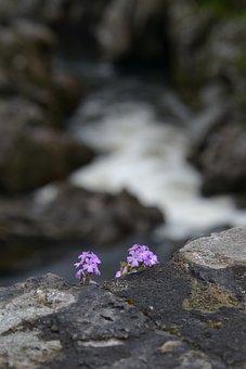 Flower, Wall, Bridge, Purple, Wallflower, Nature