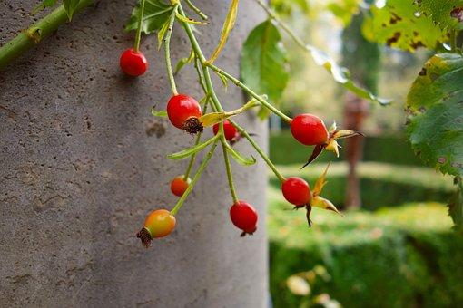 Rosehip, Fruit, Food, Nutrition, Vitamin, Medicinal