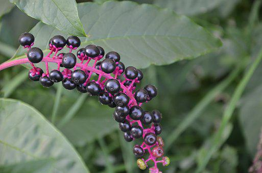 Fruits, Of Phytolacca, American