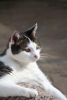 Cat, Pet, Mackerel, Hangover Watched, Short Hair