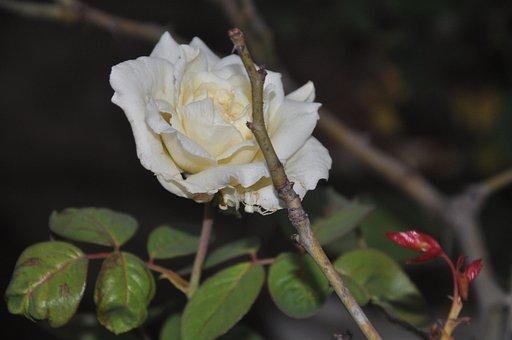 Photography, Flower, Garden, Nature, Summer, White