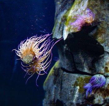 Sea Anemone, Colorful, Sea, Underwater World, Anemone