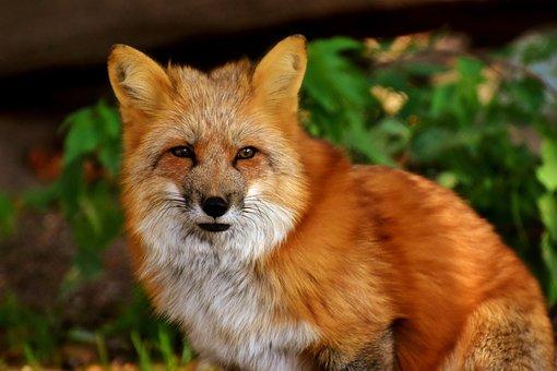 Fuchs, Animal World, Wild Animal, Wildlife Photography