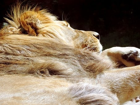 Lion, Sleeping, Animal, Africa, Rest, Predator, Tired
